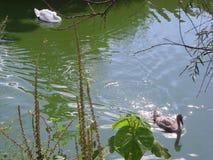 Бег утки от лебедя стоковые фотографии rf