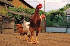 бег цыпленка Стоковое Изображение