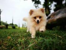 Бег щенка Стоковые Изображения RF