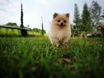 Бег щенка Стоковая Фотография RF