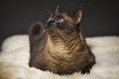 Беда кот дома Mesmerized светом стоковые фотографии rf