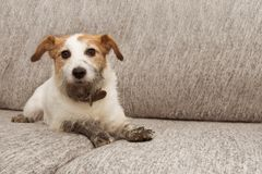 Беда собаки портрета Грязный Джек Рассел играя на мебели софы с грязными лапками и виновным выражением стоковая фотография