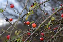 Бедра ягод Стоковая Фотография RF