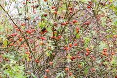 Бедра bush с зрелыми ягодами Ягоды dogrose на кусте Плодоовощи одичалых роз Терновое dogrose красный цвет вальм поднял стоковые изображения rf