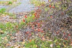 Бедра bush с зрелыми ягодами Ягоды dogrose на кусте Плодоовощи одичалых роз Терновое dogrose красный цвет вальм поднял стоковое фото rf