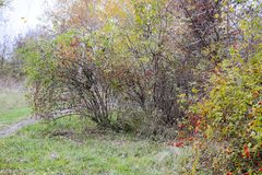 Бедра bush с зрелыми ягодами Ягоды dogrose на кусте Плодоовощи одичалых роз Терновое dogrose красный цвет вальм поднял стоковое изображение