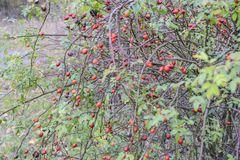 Бедра bush с зрелыми ягодами Ягоды dogrose на кусте Плодоовощи одичалых роз Терновое dogrose красный цвет вальм поднял стоковая фотография