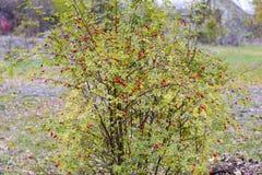 Бедра bush с зрелыми ягодами Ягоды dogrose на кусте Плодоовощи одичалых роз Терновое dogrose красный цвет вальм поднял стоковая фотография rf