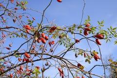 Бедра bush с зрелыми ягодами Ягоды dogrose на кусте Плодоовощи одичалых роз Терновое dogrose красный цвет вальм поднял стоковые изображения