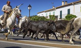 Бежать быков обрамленных с gardians дальше Стоковые Изображения