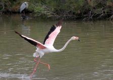 Бежать вверх розовый фламинго стоковое фото