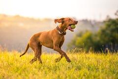 Бежать венгерская Коротк-с волосами указывая собака с теннисным мячом во рте стоковые фото