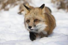Бежать в снеге Стоковое Изображение RF