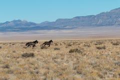 Бежать жеребцов дикой лошади Стоковые Изображения RF