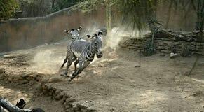 Бежать 2 зебр Стоковое фото RF