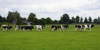 Бежать коровы в луге Стоковое Фото