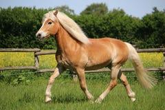 Бежать лошадь Haflinger Стоковое Изображение RF