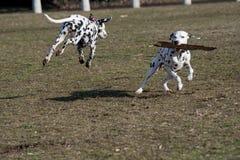 Бежать 2 молодой красивый далматинский собак Селективный фокус Стоковое фото RF