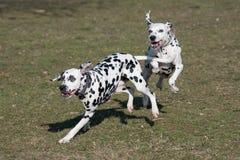 Бежать 2 молодой красивый далматинский собак Селективный фокус Стоковые Изображения