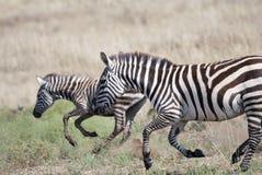 Бежать на африканских зебрах саванны стоковые изображения rf