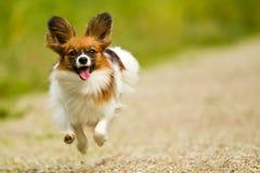 Бежать собака Papillon Стоковое Фото