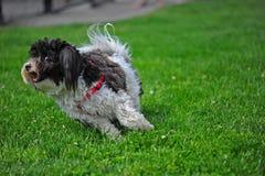 бежать собаки малый Стоковые Фото