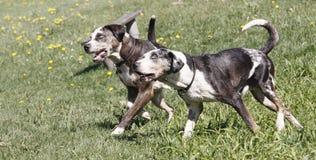 бежать собак Стоковые Фото