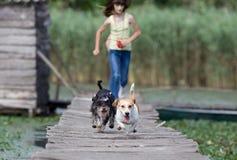бежать собак Стоковые Фотографии RF