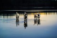 бежать собак Стоковое Изображение RF