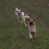 3 бежать шаловливых собаки Стоковое фото RF