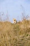 бежать щенка поля одичалый Стоковая Фотография RF