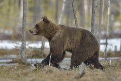 Бежать Cub бурого медведя (arctos Ursus) на болоте Стоковые Изображения RF