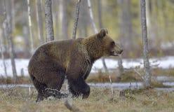 Бежать Cub бурого медведя (arctos Ursus) Стоковые Изображения RF