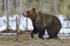 Бежать Cub бурого медведя (arctos Ursus) Стоковые Изображения
