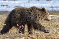 Бежать Cub леса бурого медведя (arctos Ursus) весной Стоковая Фотография RF