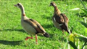 Бежать Nilegeese на зеленой траве Стоковая Фотография
