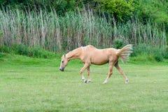 Бежевая лошадь Стоковое Изображение RF