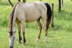 Бежевая лошадь Стоковая Фотография