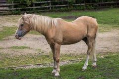 Бежевая лошадь Стоковое фото RF
