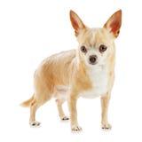 Бежевая собака чихуахуа изолированная на белой предпосылке. стоковая фотография rf