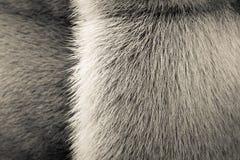 Бежевая текстура животных меха с прокладкой Стоковые Фотографии RF