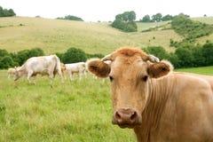 бежевые коровы скотин есть зеленый лужок Стоковая Фотография