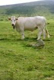 бежевые коровы скотин есть зеленый лужок Стоковая Фотография RF