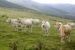 бежевые коровы скотин есть зеленый лужок Стоковые Изображения