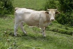бежевые коровы скотин есть зеленый лужок Стоковые Изображения RF