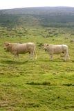 бежевые коровы скотин есть зеленый лужок Стоковое фото RF