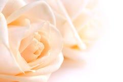бежевые чувствительные розы Стоковая Фотография RF