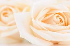 бежевые чувствительные розы Стоковое Изображение RF