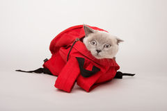 Бежевый кот в красной сумке, на белой предпосылке Стоковая Фотография RF