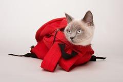 Бежевый кот в красной сумке, на белой предпосылке Стоковое Изображение